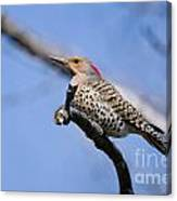 Northern Flicker Pictures 5 Canvas Print