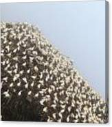 Northern Gannet Colony Canvas Print
