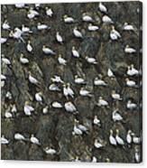 Northern Gannet Colony Shetland Islands Canvas Print