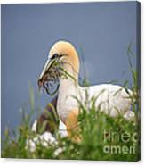 Northern Gannet Gathering Nesting Material Canvas Print
