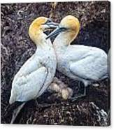 Northern Gannets And Chick 2 Canvas Print