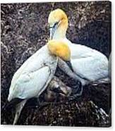 Northern Gannets And Chick Canvas Print