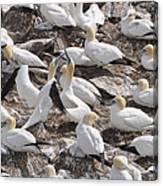 Northern Gannets Canvas Print