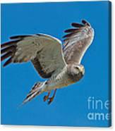 Northern Harrier Male In Flight Canvas Print