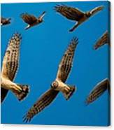 Northern Harrier Sequence Canvas Print