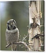Northern Hawk Owl In The Spring Alaska Canvas Print