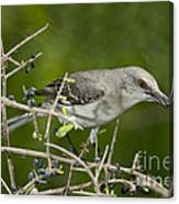Northern Mockingbird Canvas Print
