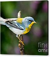 Northern Parula Warbler Canvas Print
