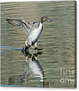 Northern Pintail Drake Tail Touching Canvas Print