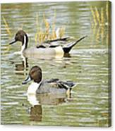 Northern Pintail Ducks  Canvas Print