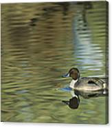 Northern Pintail In A Quiet Pond California Wildlife Canvas Print