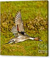 Northern Pintail In Flight Canvas Print