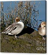 Northern Pintail Pair At Rest Canvas Print