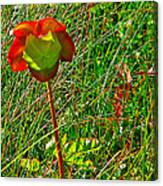 Northern Pitcher Plant In French Mountain Bog In Cape Breton Highlands-nova Scotia  Canvas Print