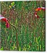 Northern Pitcher Plant In French Mountain Bog On Cape Breton Isl Canvas Print