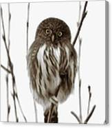 Northern Pygmy Owl - Little One Canvas Print