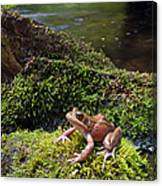 Northern Red-legged Frog Canvas Print