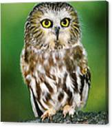 Northern Saw-whet Owl Aegolius Acadicus Wildlife Rescue Canvas Print