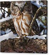 Northern Saw-whet Owl.. Canvas Print