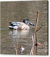 Northern Shoveler Duck  Canvas Print