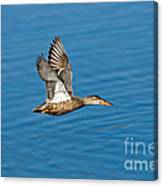 Northern Shoveler In Flight Canvas Print