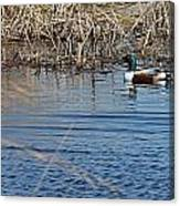 Northern Shoveler Swim Canvas Print