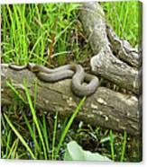 Northern Water Snake - Nerodia Sipedon Canvas Print