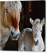 Norwegian Fjord Horse And Colt Digital Art Canvas Print