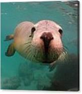 Nosey Sea Lion Canvas Print