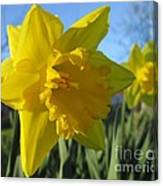 Now That's A Daffodil Canvas Print