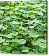 Nuanced Nasturtium Canvas Print