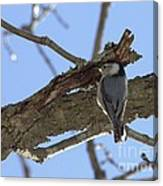 Nuthatch Getting To The Good Stuff Canvas Print