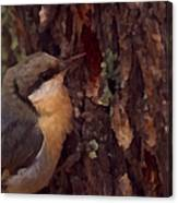 Nuthatch Up Close Canvas Print