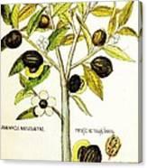 Nutmeg Plant Botanical Canvas Print