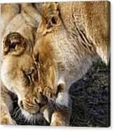 Nuzzling Lions Canvas Print