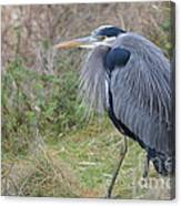 Nw Blue Heron Canvas Print