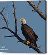 Nw Florida Bald Eagle Iv Canvas Print