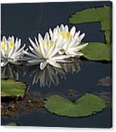 Nymphaea Odorata - Fragrant White Waterlilies Canvas Print
