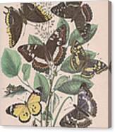 Nymphalidae - Danaidae Canvas Print