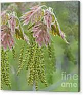 Oak Blossoms Canvas Print