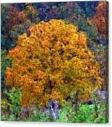 Oak In Autumn Color Canvas Print