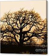 Oak Lit Canvas Print