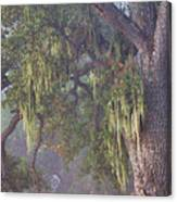 Oak Tree And Spanish Moss In The Mist Canvas Print