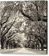 Oak Trees Of Charleston South Carolina In Sepia Canvas Print