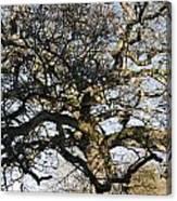 Oak Tree In Winter Canvas Print