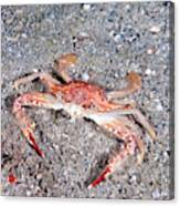 Ocellate Swimming Crab Canvas Print
