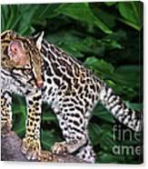 Ocelot Felis Pardalis Wildlife Rescue Canvas Print