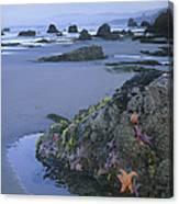 Ochre Sea Stars At Low Tide Miwok Beach Canvas Print
