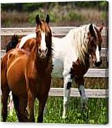 Ocracoke Ponies Canvas Print