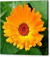 October's Summer Sunlit Marigold  Canvas Print